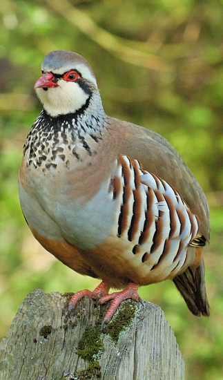 What does redlegged partridge mean definition meaning